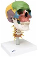 Didactische schedel van kunststof met halswervels