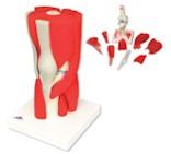 Spiermodel van het Kniegewricht met afneembare spieren 12 delig