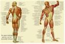 Anatomische poster van de spieren Nederlandstalig