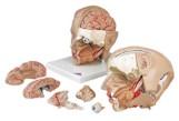Anatomisch model van het hoofd, 6-delig