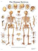 Anatomische Poster van het Skelet