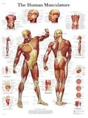 Anatomische Poster van de Spieren