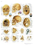Anatomische Poster van de Schedel