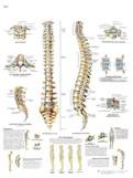 Anatomische Poster van de Wervelkolom