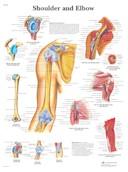 Anatomische Poster van de Schouder & Elleboog