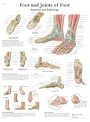Anatomische Poster van de Voet & Enkel