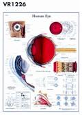 Anatomische Poster van het Oog
