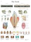 Anatomische Poster van de Tanden
