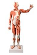 Spiermodel menselijk lichaam, levensgroot, 37-delig (CLON)