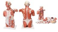 Spiermodel Torso levensgroot, 27-delig (CLON)