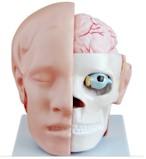 Anatomisch model van het Hoofd met Hersenen