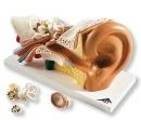 Anatomisch model van het oor 3x vergroot