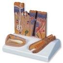 Anatomisch model van de Huid, Nagel en Haarzakje