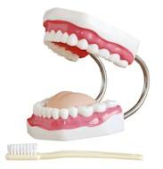 Gebitsverzorgingsmodel, 32 tanden