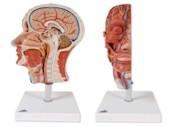 Doorsnede van het hoofd met spierenstelsel