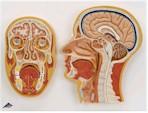 Mediaan en frontale doorsnede van het hoofd