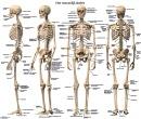 Anatomische Poster Menselijk Skelet Nederlandstalig